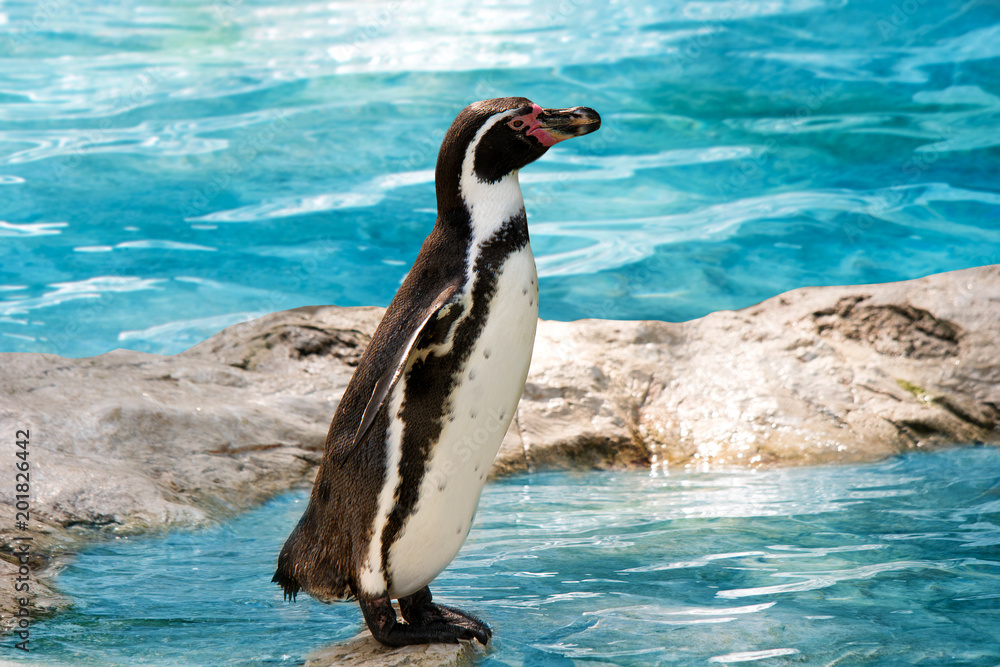 funny penguin standing at the water