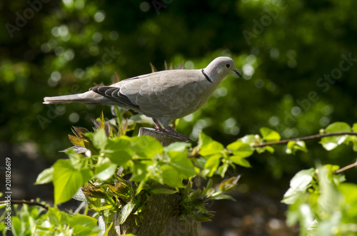 Tourterelle turque,.Streptopelia decaocto, Eurasian Collared Dove