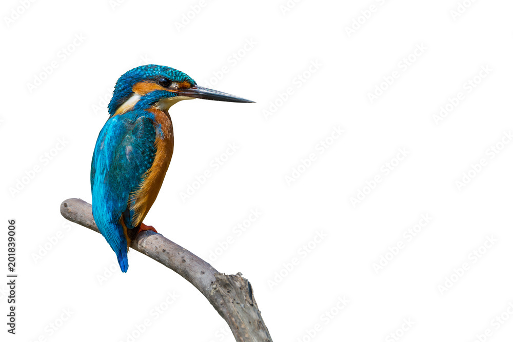 Colorful tiny bird.Beautiful bird Common Kingfisher perching on branch isolated white background and clipping path.