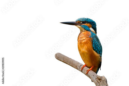 Recess Fitting Bird Colorful tiny bird.Beautiful bird Common Kingfisher perching on branch isolated white background and clipping path.