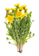 Dandelion Flowers Green Leaves Taraxacum Officinale
