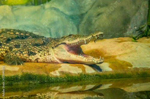 Tuinposter Krokodil crocodile with open mouth with large teeth