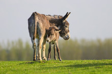Grey Baby Donkey And Mother On...