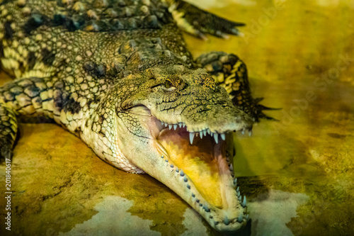 Foto op Plexiglas Krokodil crocodile with open mouth with large teeth