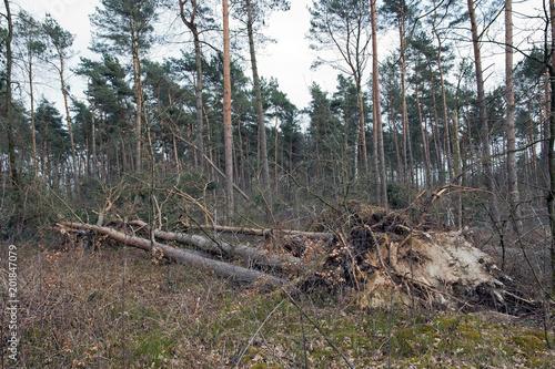 Photo  Entwurzelte Bäume