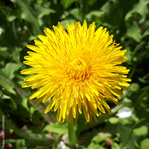 Fotografie, Obraz Closeup of a bright yellow blooming Sow Thistle (Sonchus oleraceus) on green grass background