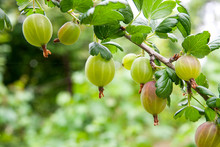 Branch Of Gooseberry With Gree...