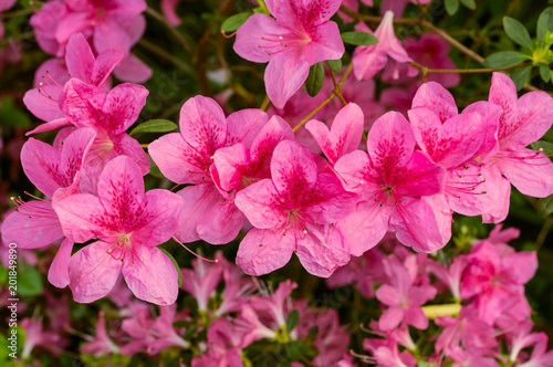 Keuken foto achterwand Azalea Blossoming pink azalea close up