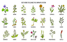 Best Medicinal Herbs To Cleance The Lymphatic System