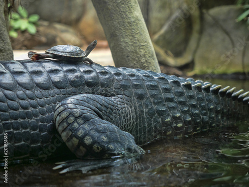 The turtle sits on the back of Gharial, Gavialis gangeticus