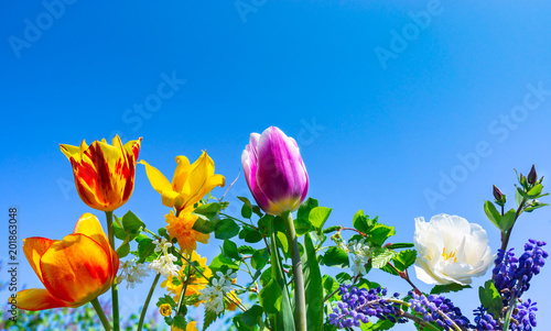 Colorful tulips, Grape hyacinths and gold florets, blue sky