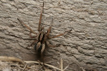 Wolf Spider - Lycosa Sp.