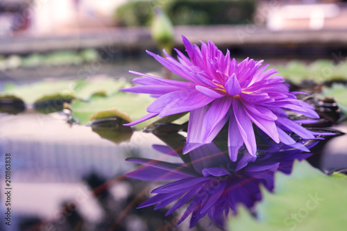 Deurstickers Waterlelies Violet lotus or water lily flower with reflection on water, soft image tone background..