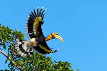 Flying Great Hornbill At Khao ...