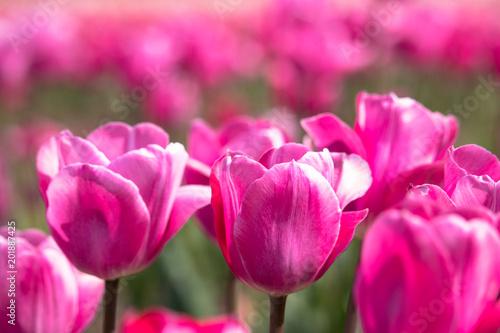 Spoed Fotobehang Roze Tulips in Sakura City, Chiba Prefecture, Japan