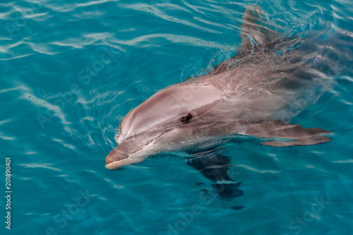 Wall Murals Dolphin The yong Bottlenose dolphin is swimming in red sea