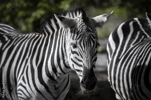 In de dag Bleke violet African plains zebra standing on the green background blurred in daytime