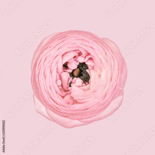 Ranunculus against plain background, pink