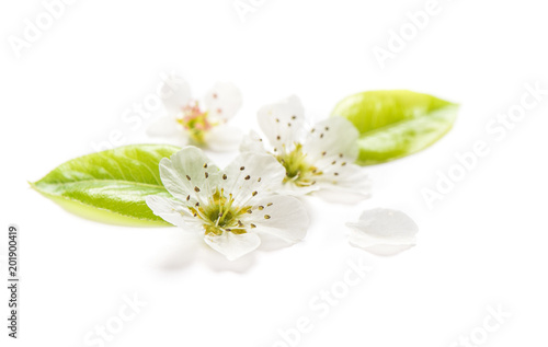 Blossoms pear tree Spring flowers white background