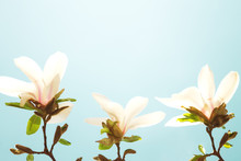 White Magnolia Flowers, Blue Sky In Background