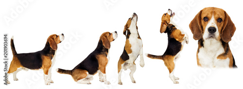 beagle dog stands sideways in full growth on a white background Canvas Print