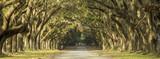 Fototapeta Sawanna - Oak tree lined road in Savannah, Georgia.