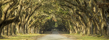 Oak Tree Lined Road In Savanna...