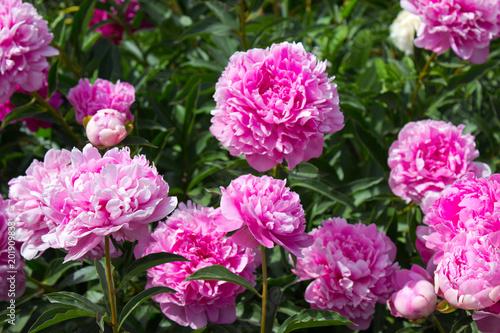 Photo sur Toile Dahlia Peony flower