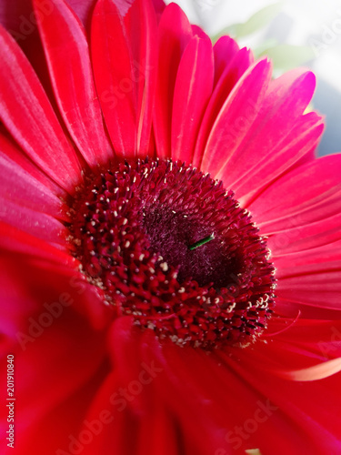 Deurstickers Gerbera Red gerbera flower closeup view background