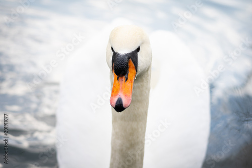 Fotografia  Graceful white swan (Cygnus olor) close-up.