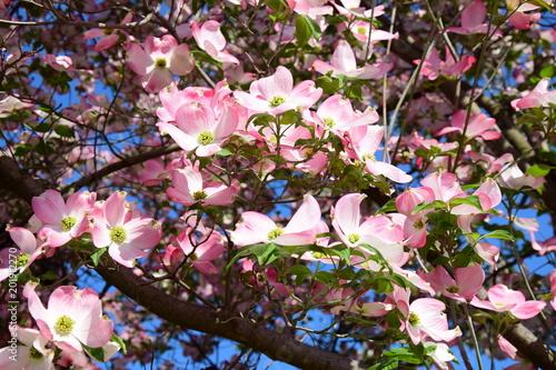Foto op Plexiglas Magnolia Blumen-Hartriegel