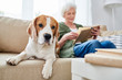 Calm faithful Beagle dog lying near senior owner on comfortable sofa and looking at camera, concentrated granny reading book