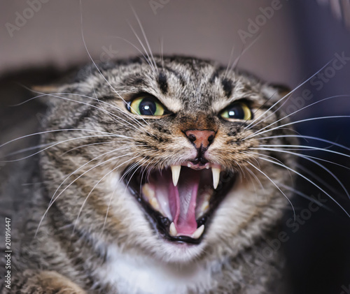Angry adult tabby cat hissing and showing teeth