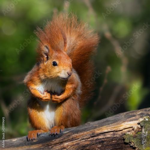 Staande foto Eekhoorn Aufrecht sitzendes rotes Eichhörnchen mit Pfoten vor der Brust