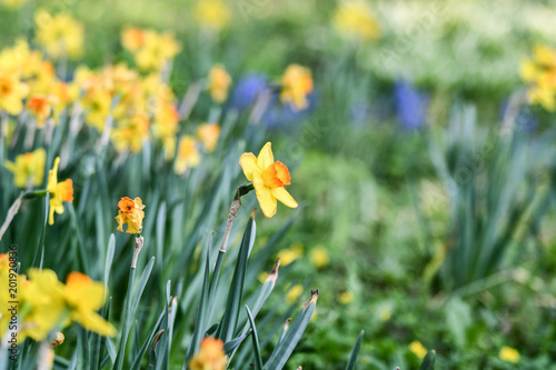 Easter Background With Fresh Spring Flowers Daffodil Flowers In The
