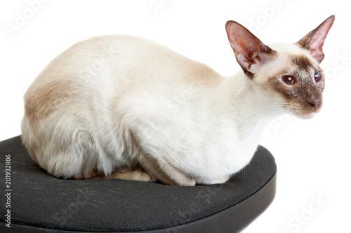 Fotografía  Siamese Cat lies on a office chair