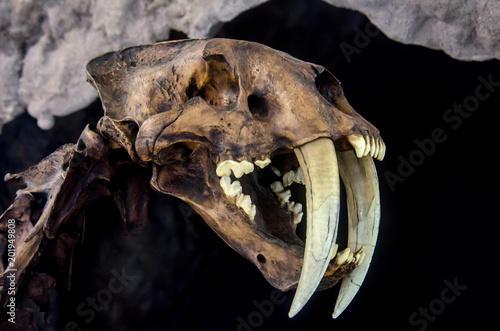 Photo  Smilodon saber tooth extint feline