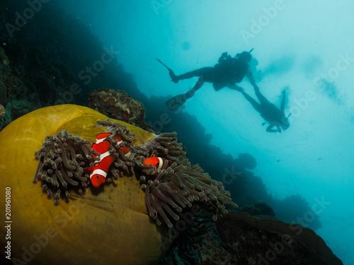 Clown fish and scuba diver Fototapet