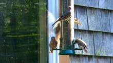 Purple Finch At The Feeder
