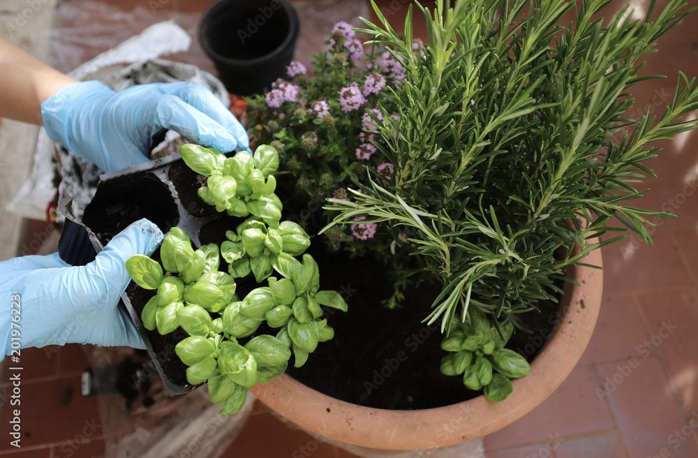 Fototapety, obrazy: mani donna che trapiantano erbe aromatiche