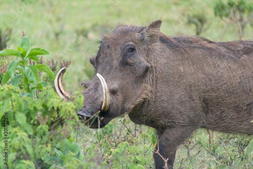 Poster Rhino Wart Hog