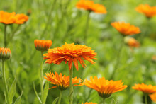 Orange Pot Marigold Bloosom - Calendula Officinalis Field