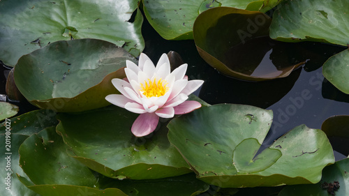 Photo Stands Water lilies European White Waterlily, Water Rose or Nenuphar, Nymphaea alba, flower close-up, selective focus, shallow DOF