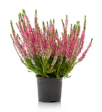 Heather Flowers Of Pink Colour...