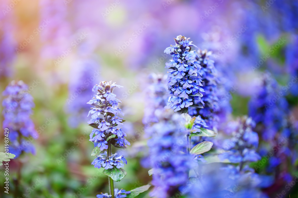 Fototapety, obrazy: The beautiful blue flowers of sage in the garden. Floral background. Selective focus.