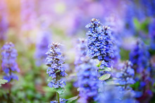 The Beautiful Blue Flowers Of ...
