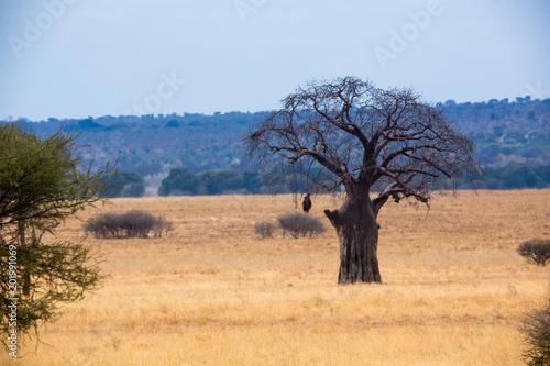 In de dag Baobab Babobab Baum in der Savanne