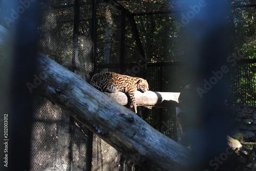 Deurstickers Luipaard Traveler Russia