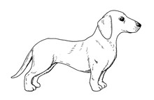 Drawing Of Dachshund Dog - Han...