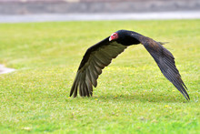 Closeup Of A Turkey Vulture, C...